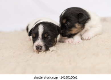 Little cute Jack Russell puppy dogs 14 days old lie side by side on a blanket in front of white background