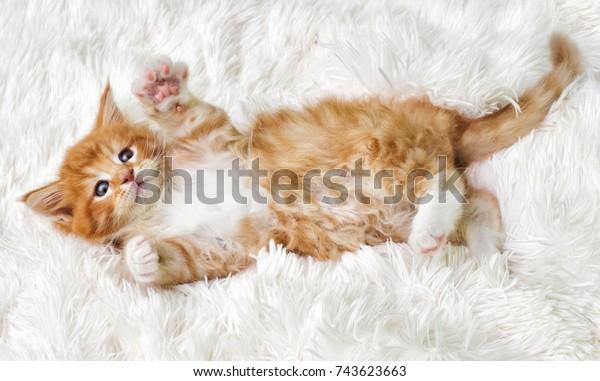 маленький милый котенок мейн кун смотрит вверх
