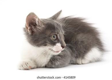 little cute kitten over white