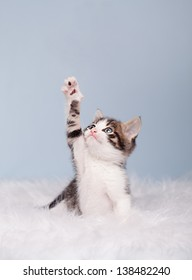 little cute kitten trying to reach something on blue background