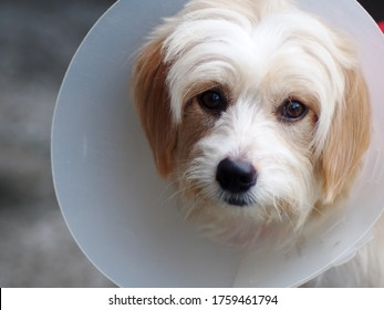 little cute long hair puppy dog portraits playing outdoor wearing semi transparent sick dog protective collar making sad face