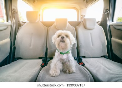 Little cute maltese dog in the car on the back seat