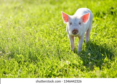 Little cute pig on the lawn. Early sunny morning. Green background. Free place.