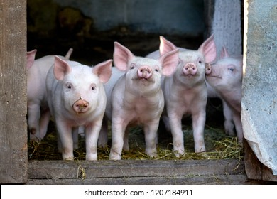 little cute pigs on the farm. Growing pigs. Portrait of an animal