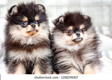 Image result for cute puppies pomeranians
