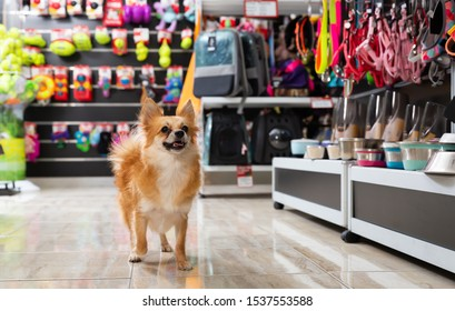 Little cute puppy walking in pet shop on background of shelves with dog accessories