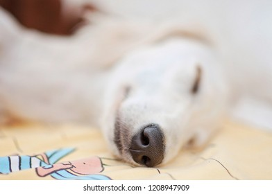 A little cute purebred white saluki puppy dog (persian greyhound) relaxed and sleeping calmly in bed.