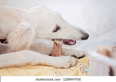 A little and cute purebred white saluki puppy dog (persian greyhound) eating a bone relaxed at home and holding it with her paws.