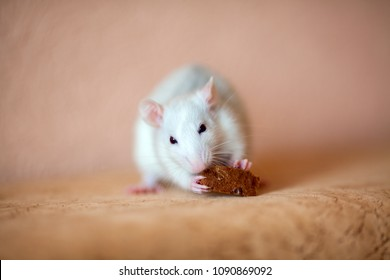 Little cute rat eating a piece of a black bread