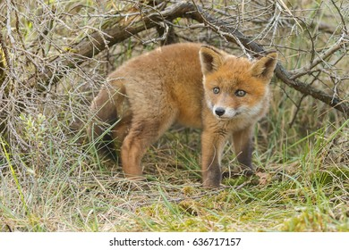 Little cute red fox cub in nature on a spring day