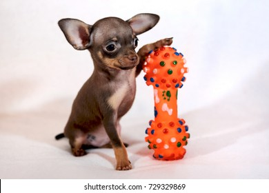 Little cute Russkiy toy (Russian toy terrier) puppy with bone dog toy in a white background.