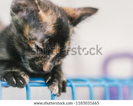 Little Cute Tortoise Shell Tri Colors Stock Photo (Edit Now