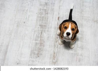 little cute tricolor Beagle puppy, sad look.