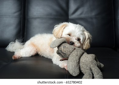 Little cute white dog play on couch