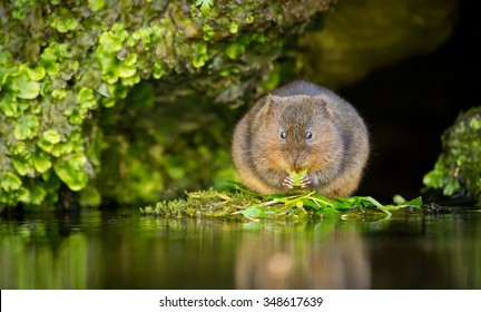 A little cute wild water vole eating
