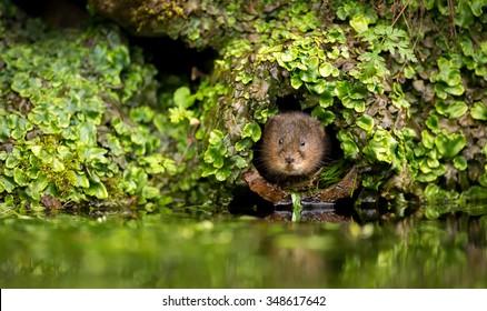 A little cute wild water vole in a hole