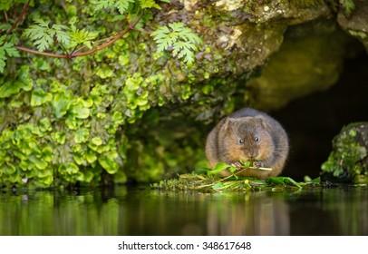 A little cute wild water vole eating