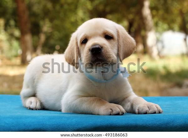 the little cute yellow labrador puppy sitting on the blue background