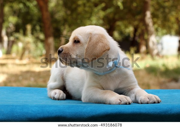 a little cute yellow labrador puppy sitting on the blue background