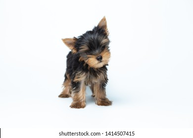 Teacup Yorkie Hd Stock Images Shutterstock