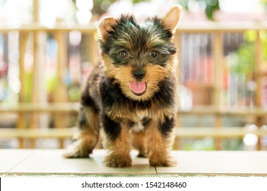 Little Cute Yorkshire terrier puppy stand on the table in tree background. Yorkie teacup sit on the table,adorable dog, funny dog portrait in the garden