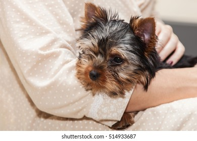 Little cute yorkshire terrier puppy in the hands of woman