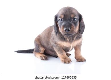 Little dachshund puppy on a white background.