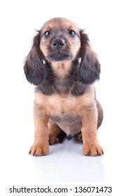 Long Hair Dachshund Images Stock Photos Vectors Shutterstock