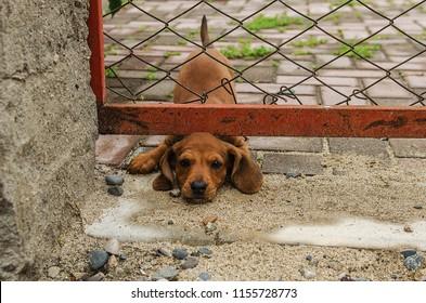 little dachshund puppy stuck his head under the fence