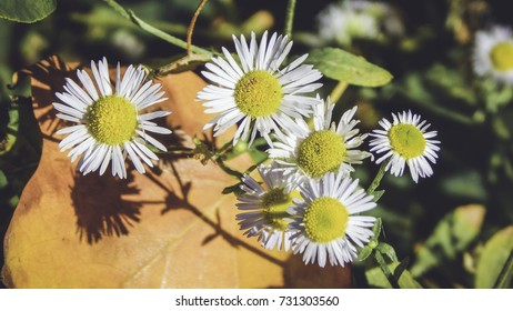 Little daisies, chamomila, and yellow leaf, beautiful autumn decoration