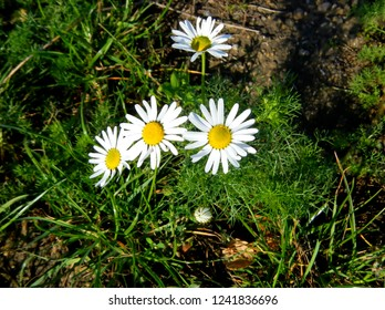 Little Daisies in Summer