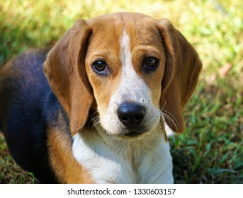 Little Daisy Dew Beagle