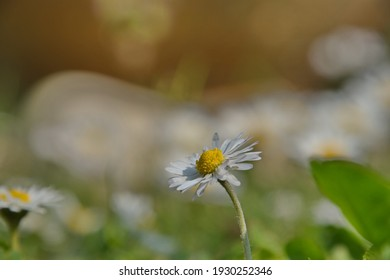 Little daisy in a ocre yellow, white and green background.