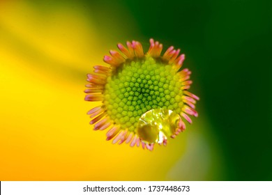 little daisy with a  water larm on the corolla and a yellow and green background