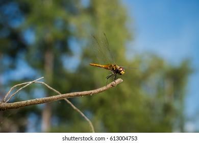 A Little damsel fly monster Dewy dragon-fly in green