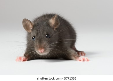 a little decorative rat on gray background
