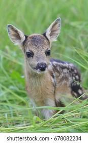 Little deers in the grass. Spring in the nature. Capreolus capreolus. Baby deer.