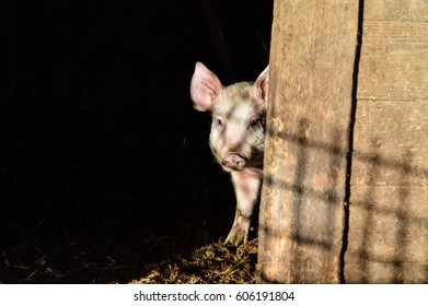 Little dirty curious piglet hiding in the shadow closeup