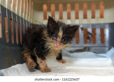 Little dirty kitten with eye disease due to infection in the shelter