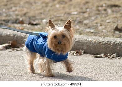 Little dog in blue