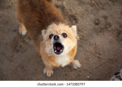 Little Dog breed Pomeranian Mixed breed Shih Tzu are Staring page and Dogs barking .