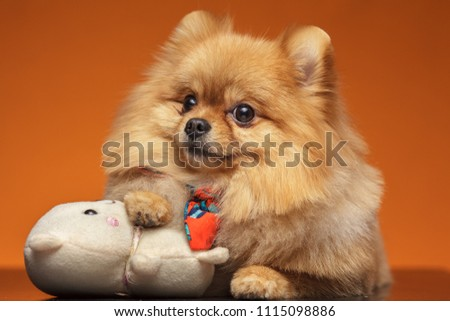 Little Dog Breed Pomeranian Spitz Lying Stock Photo Edit Now