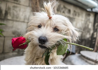 Little dog brings love and red roses to everyone. Valentine's Day concept with copy space.