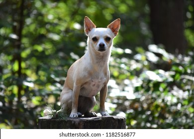 Little dog (chihuahua) in a dutch forest