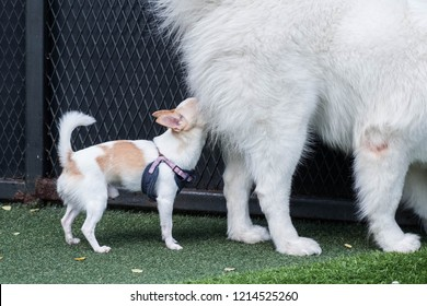 Little dog, Chihuahua, smelling bigger dog butt