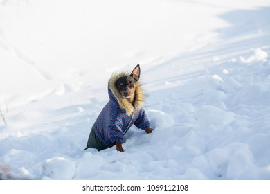 Little dog dressed in overalls by winter