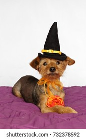 Little dog dressed in a witch hat and an orange flower for the halloween party
