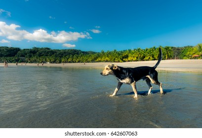 Little dog is exploring the beautiful beach of Puerto Carrillo, Costa Rica.