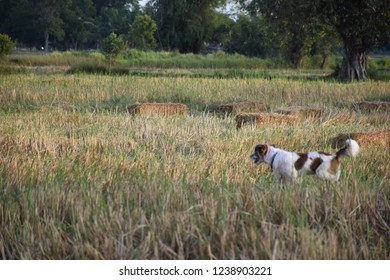 Little dog in the field Northeast of Thailand