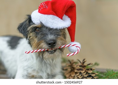 Little dog is holding a candy cane in his mouth in front of brown background and is lying on a sledge